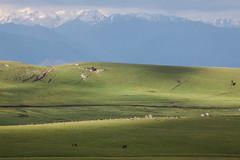 Xinjiang:kalajun grassland (woOoly) Tags: china flowers spring xinjiang prairie  kazakh ili yili sinkiang  alpinegrassland 5dmarkii   kalajungrassland yilikazakh ilichina tekesi kalajunprairie