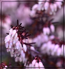 Pink Heather (naturetrails) Tags: pink flower macro spring nikon heather springflowers pinkheather