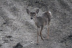 """Bambi • <a style=""""font-size:0.8em;"""" href=""""http://www.flickr.com/photos/77680067@N06/7033959081/"""" target=""""_blank"""">View on Flickr</a>"""