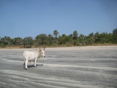 Cow on the Beach in Gambia
