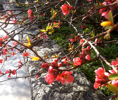 Flowering Quince and Stone Wall (Digitally Modified Photo) (randubnick) Tags: art photography sand photograph painter stonewall posterized lynchpark cutandpaste digitallymodified floweringquince beverlyma digitalpastel painter12