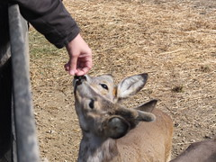 Sniffy (Szia_Steph) Tags: baby cute animal europe hungary deer faun villany siklos