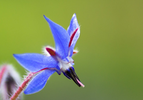 Curious flower : borage