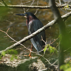 Green-Heron-IMG_6324-crop (mandovinnie) Tags: