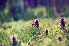 Hallo (anna.night) Tags: pink flowers light plants flower macro green nature grass garden photography photo spring photos meadow poland polska natura makro wojnwko