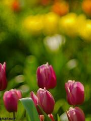 eer e color   (c-or^^) Tags: flower primavera fleur spring flora tulips blomma fiori  blume lente blomst printemps tavasz virg frhling tulpen vr bloem blten jaro bahar wiosna iek tulipes  tulipn  tulipani  kvtina  20140407p1080578
