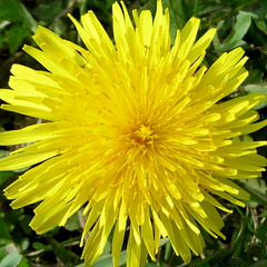 Taraxacum officinale (yooperann) Tags: park chicago flower yellow forest spring weed pretty may dandelion dandelions chicagoist