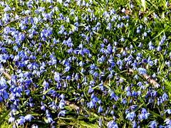blue spring (Lalallallala) Tags: flower bulb suomi finland helsinki lawn bloom squill kaupunginteatteri scillasibirica