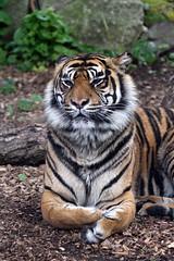 Chessington Zoo: Ratna (Sumatran Tiger) (Jasmine'sCamera) Tags: animal animals zoo stripes tiger tigers sumatrantiger sumatran chessingtonzoo