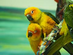 bird parakeet