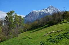 Grazing Sheeps _ Pecore al pascolo (Felix_65) Tags: sky italy verde green montagne nikon italia val cielo sheeps paesaggio pecore camonica d5100