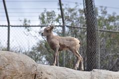 Desert Bighorn calf (marystavros@sbcglobal.net) Tags: calf desertbighornsheep nikond90 sandiegosafaripark
