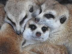 8263ex  ball o' meerkats (jjjj56cp) Tags: meerkat suricate mongoose furry zoo cincinnatizoo eyes closeup cozy p900 jennypansing whiskers czbg