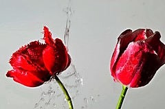 """""""Think positive ..."""" Everybody wants happiness nobody wants pain but you can't have a rainbow without a little rain """".- (Đøn@tus) Tags: flowers red drops whitebackground redgreenwhite rein indoor macro macroflowers flowerspower"""