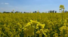 canola field (langkawi) Tags: field yellow jaune germany spring feld gelb mustard raps brandenburg cultivation canola rapeseed
