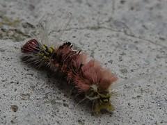 Gusano rosado (Paola.Pinilla.C) Tags: colombia gusano pequeo insecto peludo rosado defensas