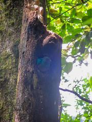 """La Réserve de Monteverde: un Quetzal Resplendissant femelle <a style=""""margin-left:10px; font-size:0.8em;"""" href=""""http://www.flickr.com/photos/127723101@N04/26340777333/"""" target=""""_blank"""">@flickr</a>"""