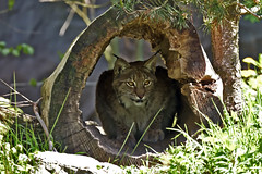 Luchs (Michael Dring) Tags: zoo bismarck gelsenkirchen luchs zoomerlebniswelt michaeldring d7200 sp150600