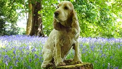 Rona among the bluebells (cocopie) Tags: bluebells spaniel rona