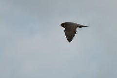 IMG_4353 (gipukan (rob gipman)) Tags: male tower female eos toren 7d kuikens slechtvalk olv langejan preybird canon24105lis tokina116