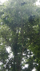 DSCN1431 (VerlynC) Tags: tree falling hickory