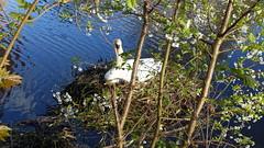 DSC00621 (Strike0utx) Tags: sun nature water animal swan iii sunny ii 100 rx rx100