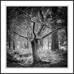 Claw (Chalky666) Tags: wood trees tree woodland holga gothic