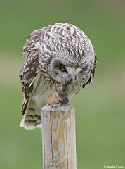Brandugla - Short-eared Owl 6197 (Sigurjón Einarsson) Tags: mouse spring nikon birding owl mús shortearedowl shorteared ugla d810 brandugla nikond810 birdinginiceland birdingiceland
