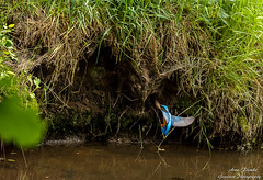 Eisvogel(Alcedo atthis) im Landeanflug in seine Bruthhle-Common Kingfischer-Wildlife,Northern Germany-BremenArne Flemke (Cristoforo Colombo) Tags: eisvogel kingfisher nikon blockland sigma wmme
