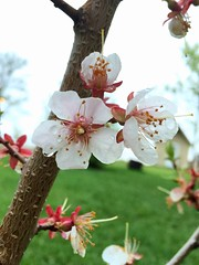 Apricot blossoms (caitlinhenderson44) Tags: life pink summer white canada flower tree green grass rain fruit spring pretty branch farm blossoms orchard apricot growing