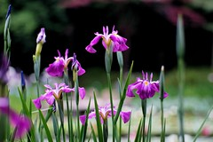 () /Iris ensata (nobuflickr) Tags: flower nature japan kyoto    irisensata heianjingushrine japanesewateriris awesomeblossoms   20160604dsc01547