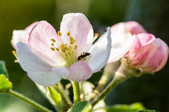Auf Entdeckungsreise - On a journey of discovery (ralfkai41) Tags: tree apple nature animals insect tiere blossom outdoor ant natur pflanzen journey makro blte discovery bume garten apfel insekten ameise entdecker ogarden