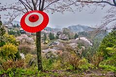 Yoshinoyama view with umbrella (Tatters ) Tags: trees japan umbrella japanese cherryblossom yoshino redumbrella yoshinoyama oloneo