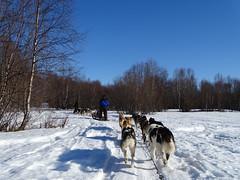 Husky Safari (Soresha) Tags: dog snow sled