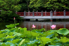 192A2002VFQ (HL's Photo) Tags: snapshot plant park nature lotus flower green outdoor