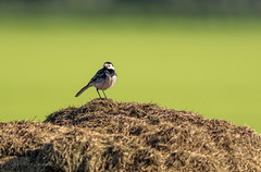 Pied wagtail (budgiepaulbird) Tags: suffolk pied wagtail