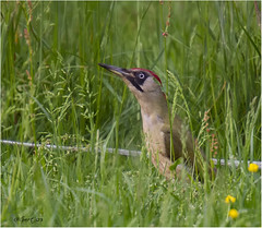 Green Woodpecker 260516(7) (Gertj123) Tags: red green bird nature netherlands grass birds spring woodpecker bokeh nederland shy
