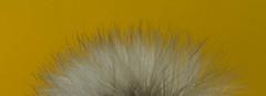 Softness... (bankst) Tags: sunlight nature yard spring weeds nikon softness outisde dandlion d7200