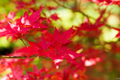 Rosso (7ederico) Tags: park red italy tree nature garden acero sigurt