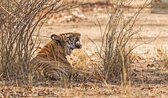 Bandhavgarh 023 (Black Stallion Photography) Tags: orange india black male photography adult stripes wildlife branches teeth tiger canine bigcat bengal stallion carnivore bandhavgarh igallopfree