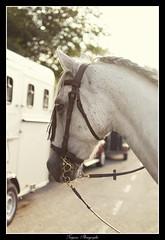 Portrait Andalou (Tatyana Photographie) Tags: portrait horses horse cheval feria espagnole chevaux spectacle anderlecht 2016 andalou euroferia brusselas equestre andaluza