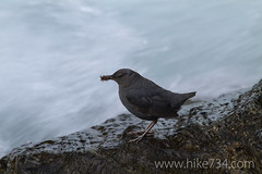 "American Dipper • <a style=""font-size:0.8em;"" href=""http://www.flickr.com/photos/63501323@N07/6775220948/"" target=""_blank"">View on Flickr</a>"