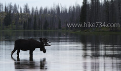 """Moose in Red Eagle Lake • <a style=""""font-size:0.8em;"""" href=""""http://www.flickr.com/photos/63501323@N07/6775243844/"""" target=""""_blank"""">View on Flickr</a>"""