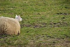 lente een nieuw gezicht (Don Pedro de Carrion de los Condes !) Tags: spring weide sheep lamb gras wei lente zon lam donpedro schaap zonnetje