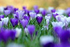 Amongst the crocuses (snowyturner) Tags: flowers light grass dof purple bokeh crocus lilac devon crocuses totnes dartington dartingtonhall