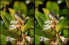 _D300153 (fotoopa) Tags: macro insect mirror stereoscopic stereophotography 3d crosseye crosseyed fotografie flight insects stereo thuis highspeed insecten crossview flyingobjects 3dimage 3dphotography 3dphoto opnames 3dmacro 3dpicture 3dfotografie highspeedmacro fotoopa 3dfoto frontmirror dslrstereo frontsidemirror 3dinsects 3dinflight crosseyedphotography 3dbeelden 3dfotoinsecten 3dbeestjes 3dinsecten