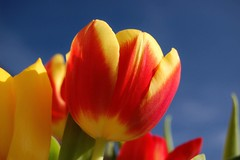 Tulips (DaveJC90) Tags: blue light red sky orange cloud sun sunlight blur flower colour detail macro green beautiful lines yellow closeup bronze silver wow gold petals spring stem focus pretty colours purple tulips bright head sunny line diamond sharp petal tulip bud shape 1001nights soe platinum premium begin autofocus sharpness wow1 wow2 wow3 wow4 mixedflowers flowersarebeautiful floraandfaunaoftheworld theperfectphotographer macroelsalvador excellentsflowers exquisiteflowers mimamorflowers flickrflorescloseupmacros panaromafotografico 1001nightsmagiccity mygearandme mygearandmepremium mygearandmebronze mygearandmesilver mygearandmegold flickrsportal mygearandmeplatinum mygearandmediamond esenciadelanaturaleza ringexcellence allnaturesparadise flickrstruereflection1 goldenachievement
