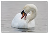 Mute Swan / Knobbelzwaan (Cygnus olor) (Levina de Ruijter) Tags: amsterdam birds animals canon nederland thenetherlands vogels canon5d dieren muteswan nieuwediep flevopark kenko14xtc canonef300mmf4lisusm