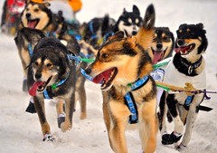 Iditarod Dogs Get Distracted! (Keltron - Thanks for 10M Views!) Tags: anchorage mushing sleddogs iditarod anchoragealaska happydogs iditarod2012