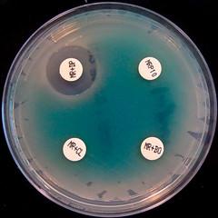 Pseudomonas aeruginosa IMP-1- Metallo-Beta lactamase - Carbapenemase Detection Kit (Nathan Reading) Tags: hospital doomsday antibiotic resistance infection superbug antibiotics kpc pseudomonasaeruginosa antimicrobial superbugs pseudomonas cloxacillin imp1 ndm1 multiresistant antibioticresistance paeruginosa carbapenemase metallobetalactamase newdelhimetallobetalactamase nctc10418 roscodiagnostica dipicolinicacid boronicacis panresistant